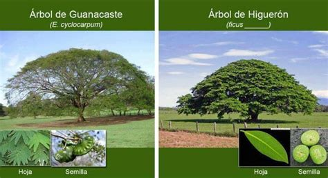 Árbol nacional de Costa Rica. | Arboles increibles | Pinterest