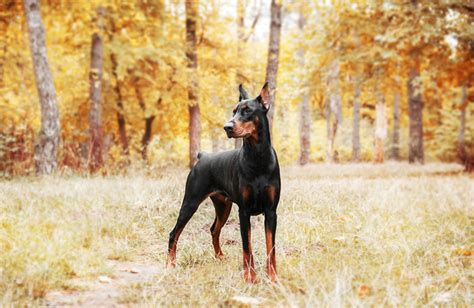 Doberman Pinscher Personality History And Pictures Pawculture