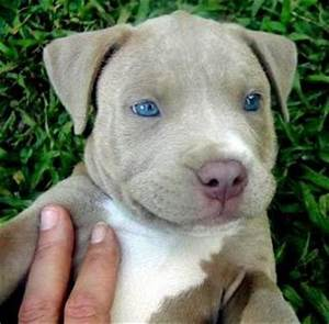 Juicy Dog Couture: Beautiful Blue Eyed Pitbull Puppy