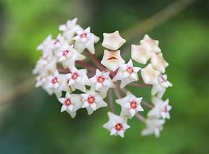 Pflegeleichte Zimmerpflanzen Mit Blüten : hoya so bringen sie die wachsblume zum bl hen zimmerpflanzen garten ~ Sanjose-hotels-ca.com Haus und Dekorationen