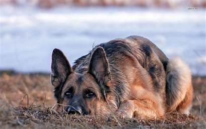 German Shepherd Christmas Wallpapers Dog Animal Wallpapersafari