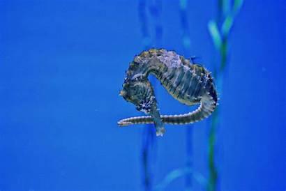 Seahorse Dance
