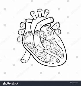 Heart Anatomy Outline Vector Illustration Stock Vector ...