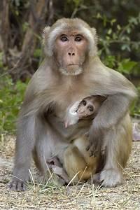 Rhesus Macaque Macaca Mulatta Mother Photograph by Pete Oxford
