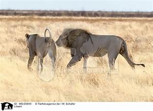 Löwen lions WS05840 Löwe Raubtiere