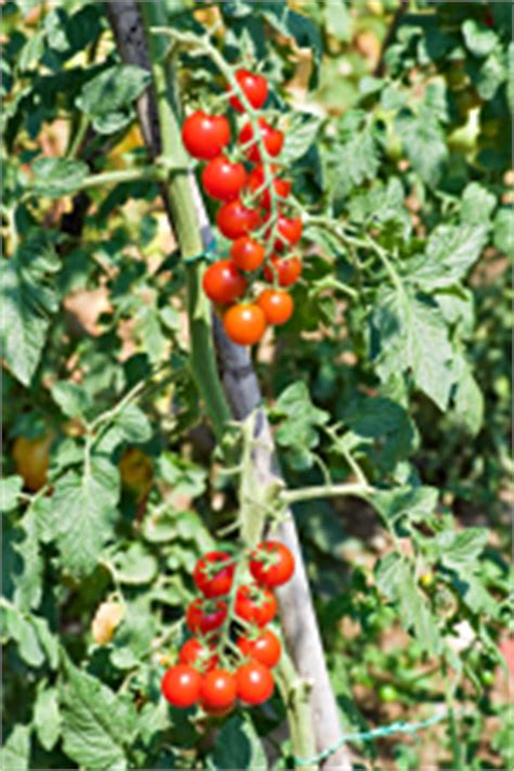 Tomato  Climbing Cherry  Smarty Plants  Plants For Kids