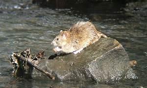 Wie Vertreibt Man Ratten : ratten anzeichen folgen und bek mpfung ~ Eleganceandgraceweddings.com Haus und Dekorationen