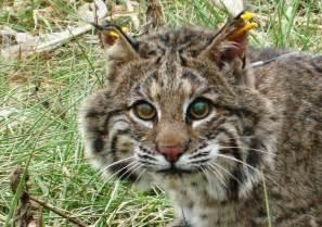 bob cat bobcat project william r clark