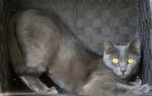 russian blue cat breeders in praise of the russian blue 171 quintessentialruminations