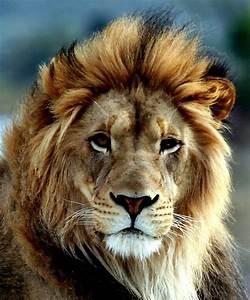 TØRTASS - Lions & Lion Tattoos