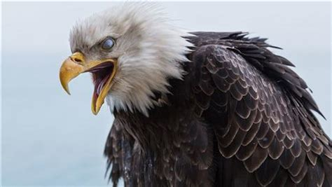 angry bird eagle hd wallpapers