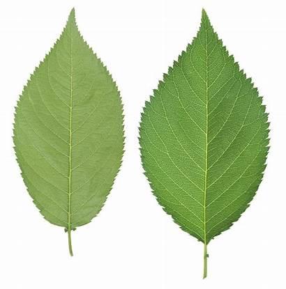 Leaf Leaves Leafs Transparent Icons Purepng Freepngimg