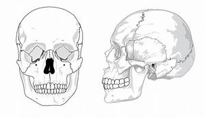 Human Skull No Text No Color Clip Art At Clker Com