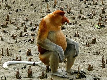 Monkey Proboscis Nasalis Larvatus Noses Endangered Species