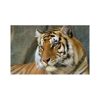 Bengal Tiger WallpapersHD Wallpapers