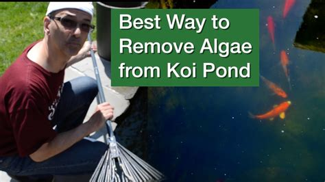 best way to remove algae from koi pond