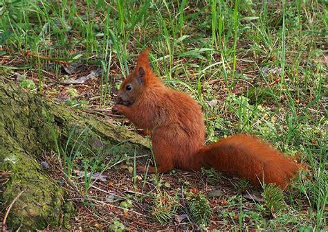 Botanischer Garten München Eichhörnchen eichh 246 rnchen