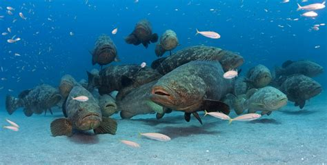 grouper goliath florida aggregation groupers diving species conservation diver castor scuba marine travel dive