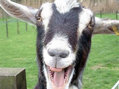 Funny Desktop Wallpapers Background Silly Funniest Goat