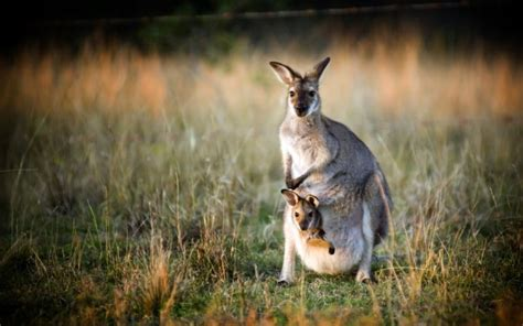 kangaroos    pockets wonderopolis