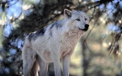 Wolf Wolves Awesome Natural Wildlife Shot Sanctuary