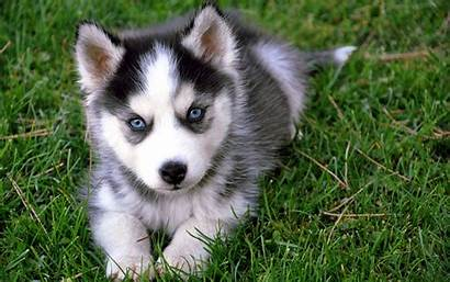 Husky Siberian Wallpapers Huskies Puppy Puppies Huskie