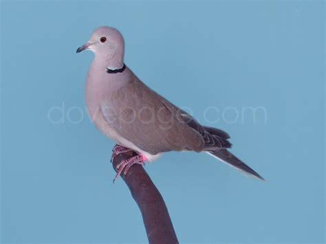grey dove with black ring around neck dove feeding help birds 59767