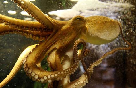 man  octopus underwater fight  camera video