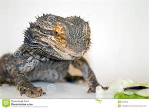 bearded dragon looking at food stock photo image 3927810