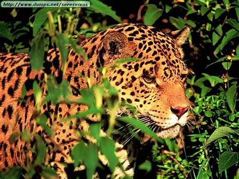 fotos de leopardos guepardos  jaguares ii