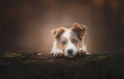 Shepherd Australian Dog Puppy Aussie Forest Wallpapers