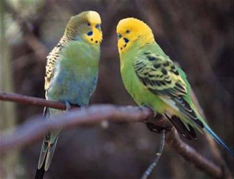 la perruche ondul 233 e 0o0 les oiseaux 0o0