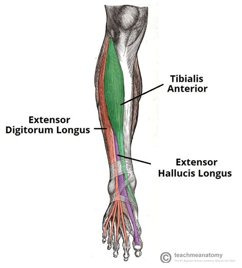 *click them to make them larger & view details. Muscles of the Anterior Leg - Attachments - Actions ...