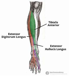 Muscles Of The Anterior Leg - Attachments