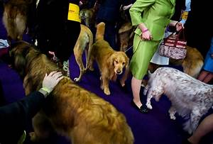 spanish water dog jango backstage at the westminster With show me dog kennels