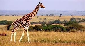 Interesting Facts About Giraffes | African Budget Safaris  Giraffe