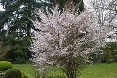 Kleinwüchsige Immergrüne Hecke : prunus incisa 39 kojo no mai 39 little trees you may like ~ Lizthompson.info Haus und Dekorationen