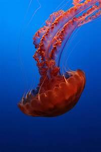 10 extraordinary jellyfish species | MNN - Mother Nature ...  Jellyfish