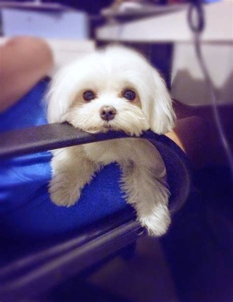 Dogs With Minimal Shedding by Top 5 Least Smelly Breeds Maltese Is Also Considered