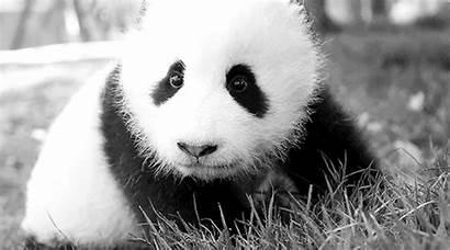Bears Panda Bear Animated Animals Mammals Gifs