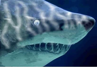Shark Sharks Happy Gifs Sand Animated Swim