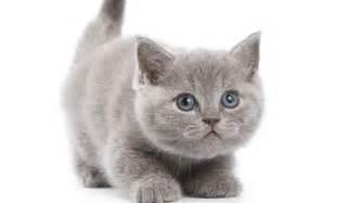 gray cats grey kitten wallpaper hd desktop wallpaper