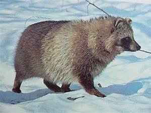 Raccoon Dog | Animal Wildlife