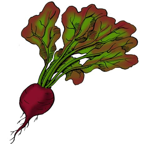 beet color beets planting harvesting pests and diseases