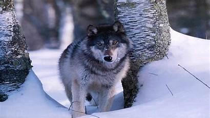 Wildlife Backgrounds Desktop Wallpapers Animal Wolf Background