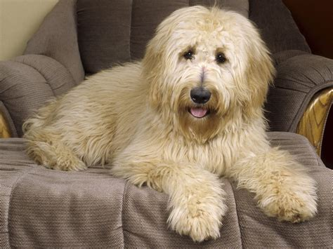 goldendoodle wallpapers hd wallpapers id