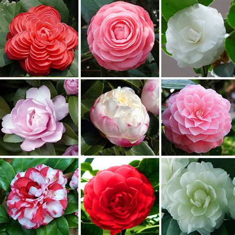 types of camellia flowers aliexpress com buy hot 24 colors available many varieties camellia seeds potted plants garden