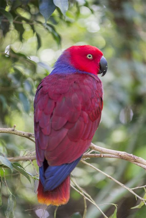 eclectic parrot eclectus roratus animal photos on