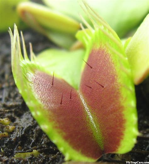 caring for venus fly trap venus fly trap information flytrapcare com