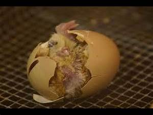 Baby Chicks Hatching - YouTube